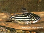 Corydoras billineatus male