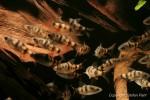 Eine Gruppe von jungen Prachtglanzbarben (Puntius arulius)
