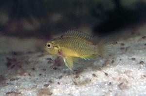Abb. 05: Weibchen von Apistogramma borellii mit Jungfischen