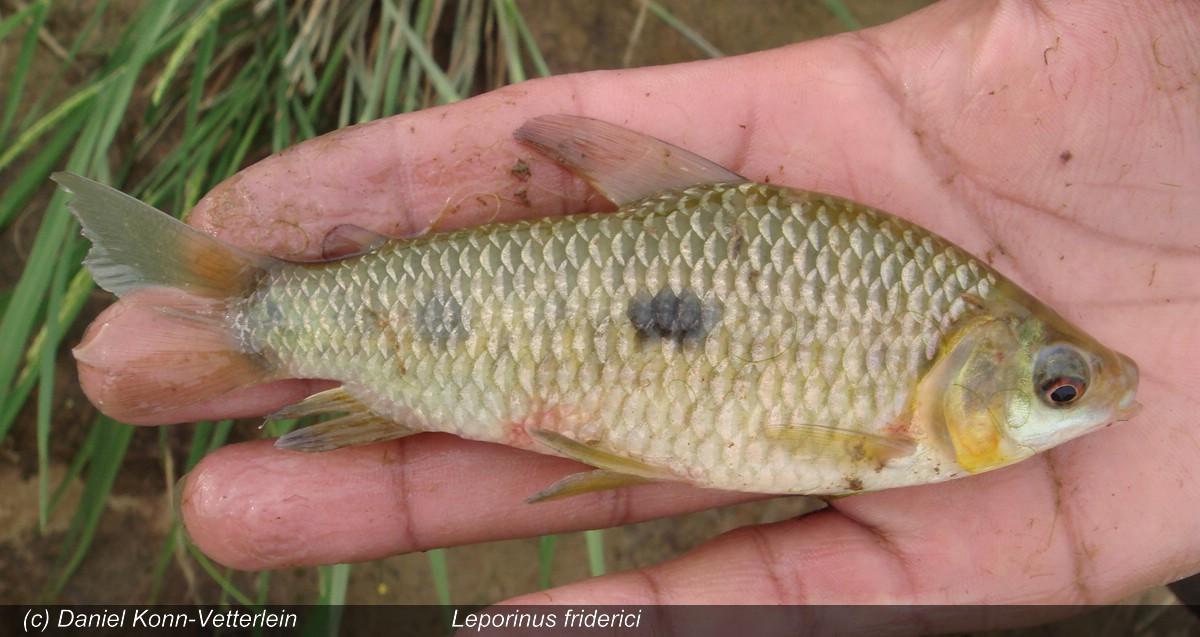 Engmaulsalmler - Leporinus friderici