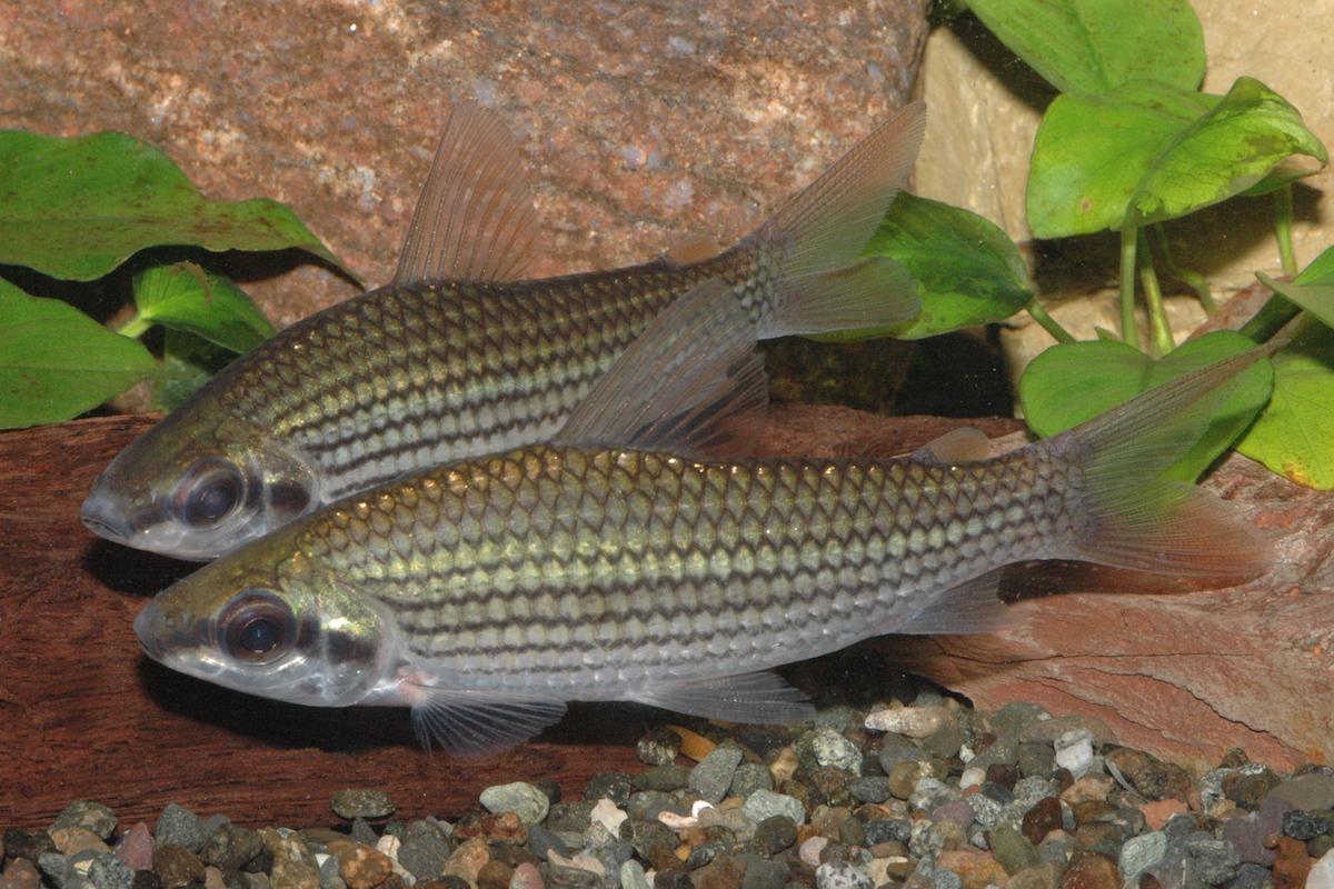 Der seltene Cyphocharax multilineatus wurde nun mal wieder importiert