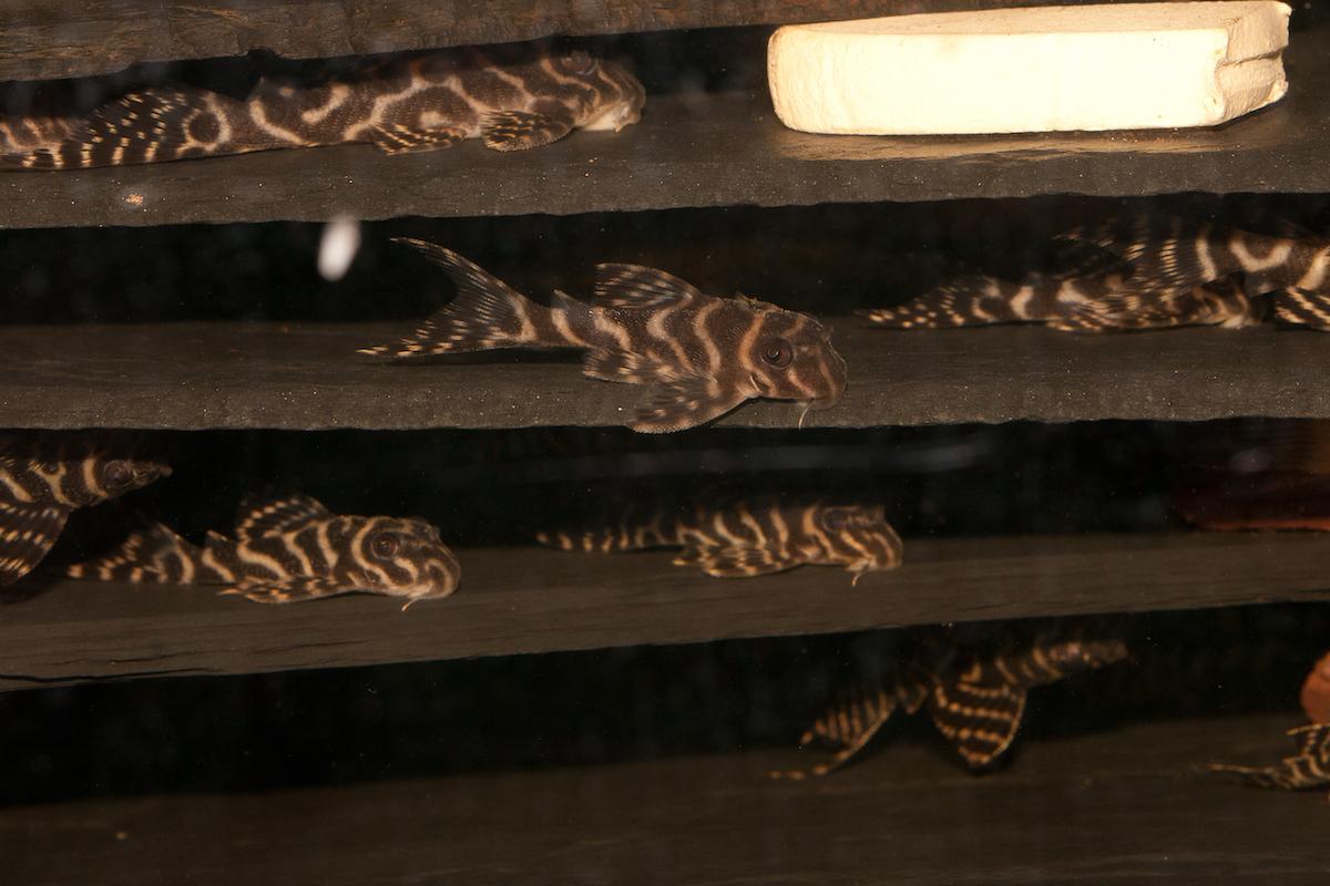 Die Unterstände werden von Jungfischen verschiedenster Größen genutzt