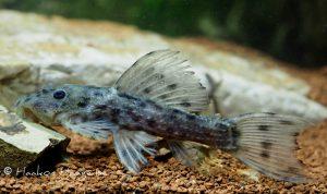 "juveniler Pseudacanthicus spinosus ""L 160"""