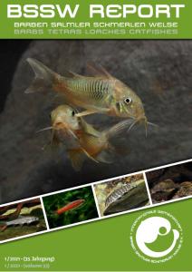 Title BSSW-Report 1-2021: Corydoras aff. aeneus 'Carmen' from Bolivia - Daniel KONN-VETTERLEIN